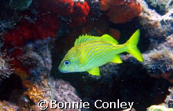 French Grunt seen at Isla Mujeres.  Photo taken April 200... by Bonnie Conley 